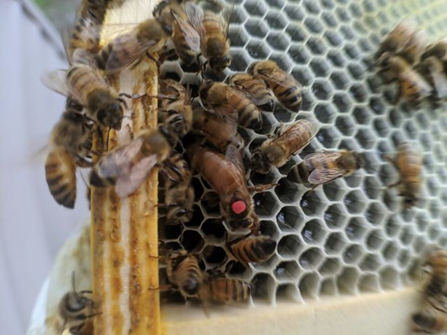 Another fine queen supplied by Ray Moeller Honey Farm